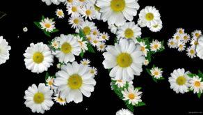 Big-Chamomile-White-Flowers-Infinite-Looped-Fall-Down-Video-Decoration.mov-7xea6r-1920_009 VJ Loops Farm