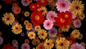 Big-Red-Yellow-Pink-Gerbera-Flowers-Falling-Dowm-Concert-Decoration-pe6ti9-1920_004 VJ Loops Farm