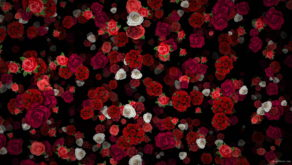 Many-Red-and-White-Roses-Flowers-Falling-Down-Looped-Motion-Background-7wwo6b-1920_008 VJ Loops Farm