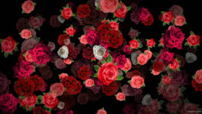 Mulicolored-Roses-Bouquets-Falling-Down-Looped-Motion-Background-pzli5k-1920_009 VJ Loops Farm