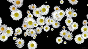 Spinning-Falling-Chamomile-changing-size-looped-concert-decoration-giwfkf-1920_001 VJ Loops Farm